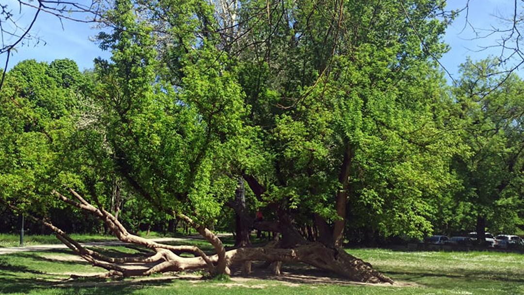 Szavazz te is a kedvenc fádra az Év Fája versenyen